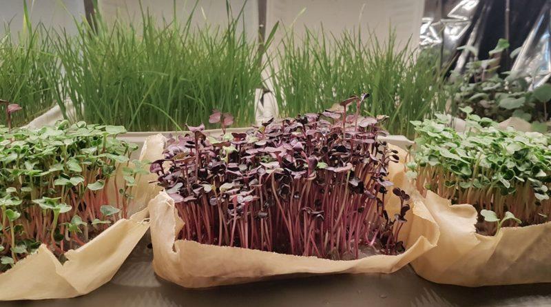 Mikro Yeşillikler Atölyesi